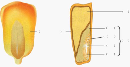 """邓维勇的作业-玉米种子的结构教学-""""国培计划(2012)"""""""