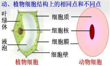 初中生物动,植物细胞问题介绍