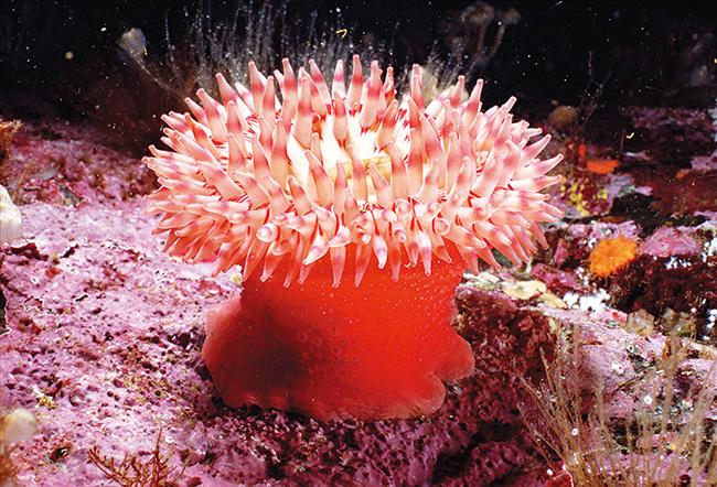 思考:固着在海中礁石的海葵,看起来宛如艳丽的花朵,因此有人称之为海中之花。然而它们却不是植物而是动物。那么它们是如何捕食的呢? 设计意图:通过美丽的海底景象激发学生学习兴趣,调动学生学习的主动性和积极性,激发求知欲。 二、互动授课 (一)腔肠动物 学生自学教材第3-4页,找出水螅的生活环境,形态及结构特点与生理功能,组织学生小组自行解决问题。 1、水螅的生活环境是怎样的? 2、水螅的形态有何特点? 3、水螅的身体结构是由什么构成的?体壁有几层细胞构成,体内有几个腔,食物和残渣由何处排出? 4、水螅如何
